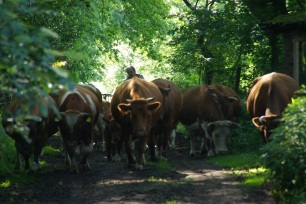 Die Herde beim täglichen Weidegang